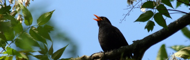 black-bird-singing